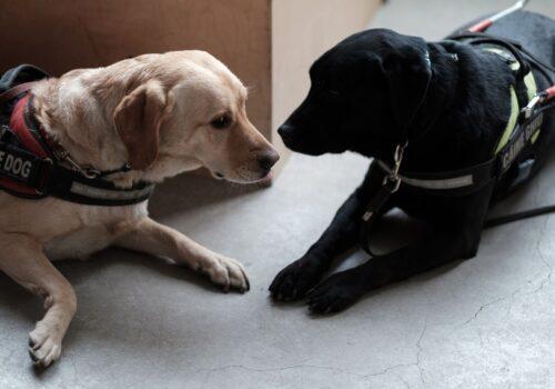 Doi câini ghizi stau la discuții în pauza de lucru.